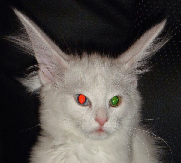kucing warna mata beza