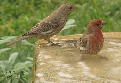 Annieinaustin, house finch pair