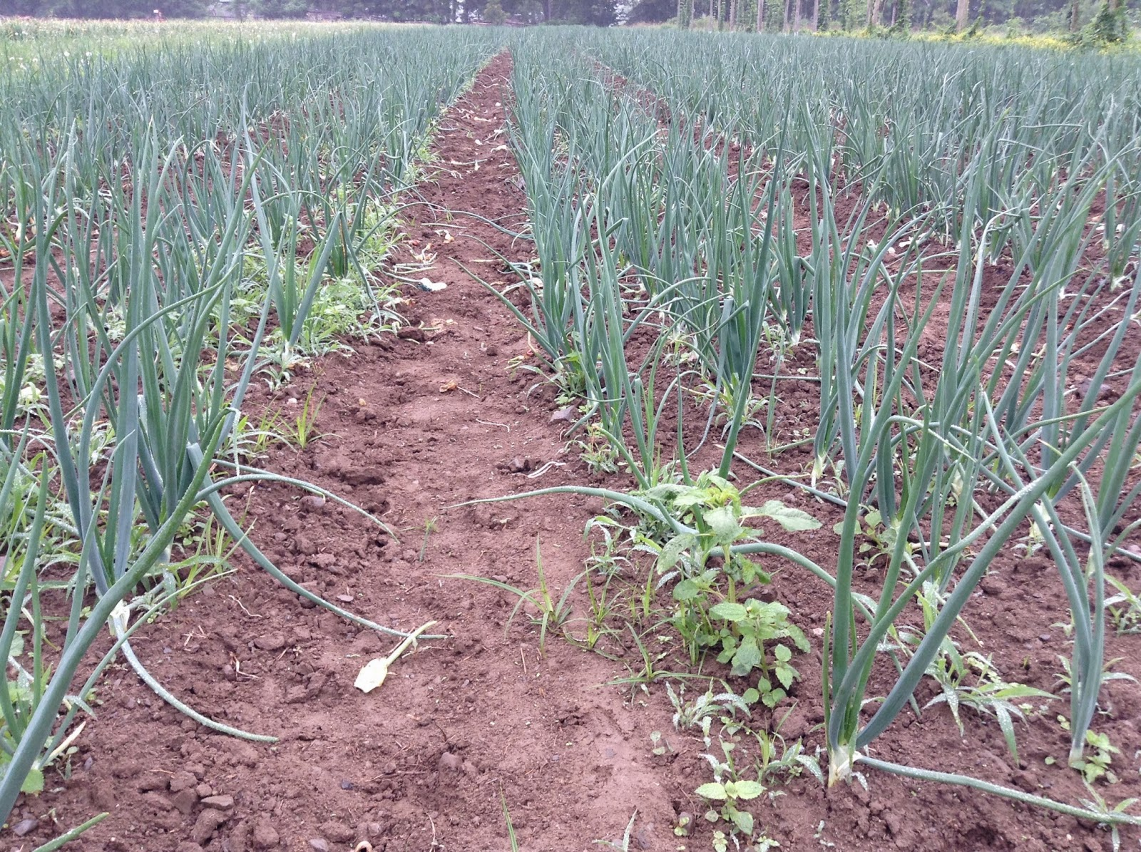 Spring Onions in the field