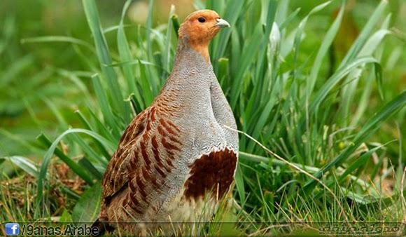 يتواجد هذا النوع اليوم  اليوم بشكل أساسي في المناطق المفتوحة والأراضي الزراعية في أوروبا الغربية وآسيا وأمريكا الشمالية وما زال شائعا في أجزاء من جنوب كندا وشمال الولايات المتحدة. ويمكن أن تضع الإناث ما يصل إلى عشرين بيضة في عش واحد