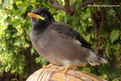 Baby Indian Myna Bird