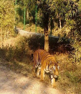 Foto harimau Bengal