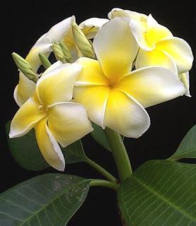 ciri-ciri bunga kamboja