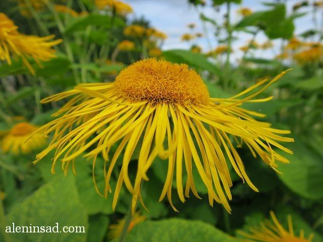 девясил, Inula helenium, аленин сад, цветы, июль