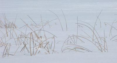 reeds frozen in ice