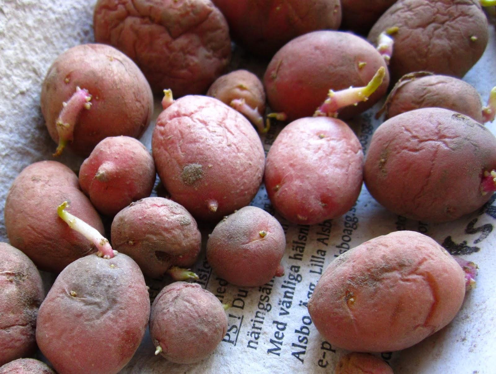 sättpotatis asterix, Odla egen mat, potatisodling, ekologiskt