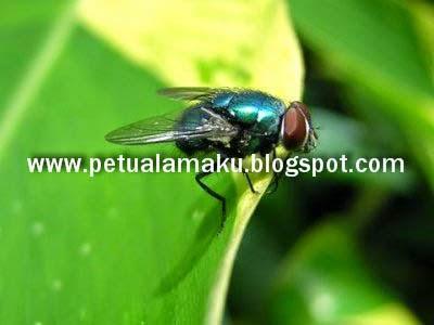 lalat, petua halau lalat, lalat rumah, fly, flies