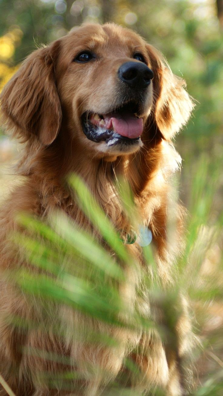 Cute Golden retriever puppy looking nice