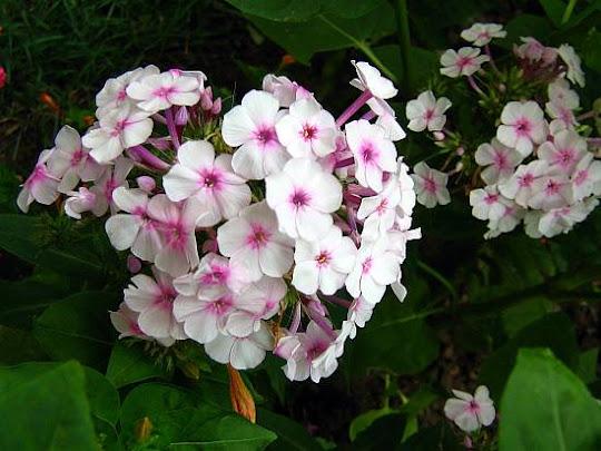 Phlox paniculata -pink garden phlox
