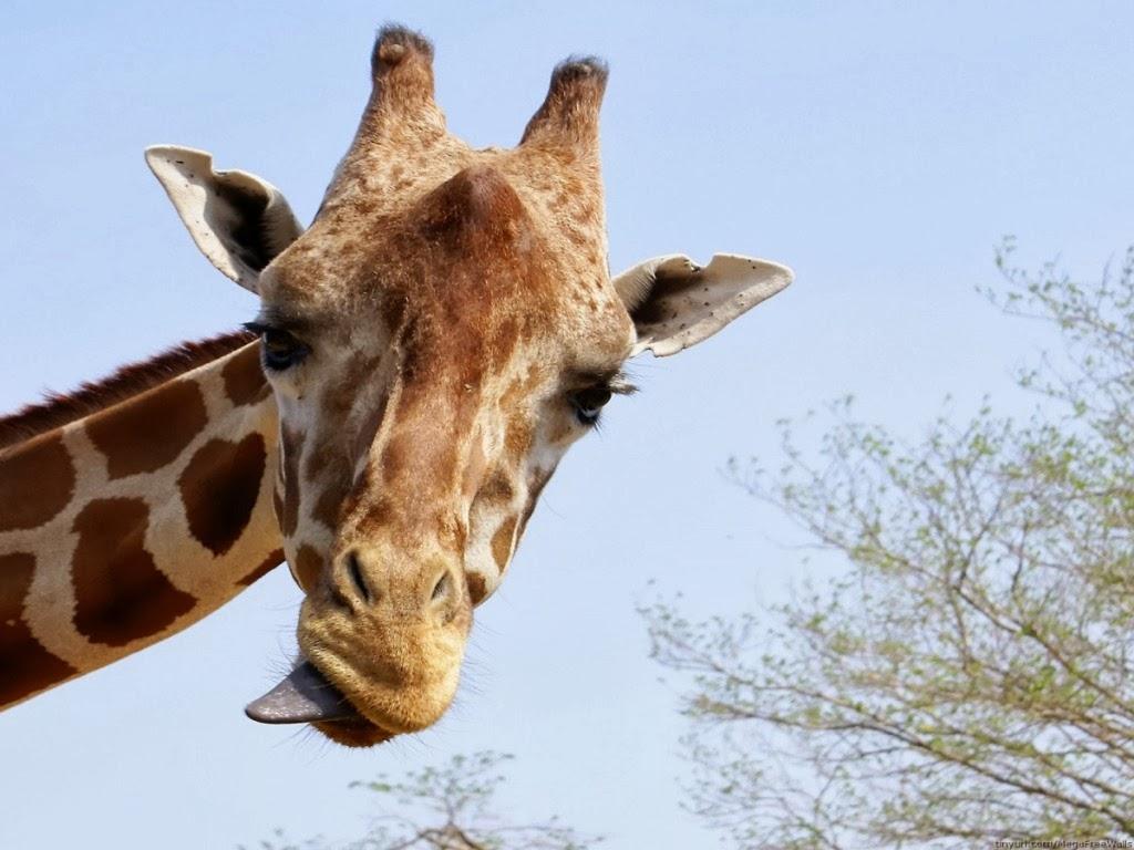 """<img src=""""http://1.bp.blogspot.com/-GfrMY4FEG5Q/UtlQIt5WgFI/AAAAAAAAIk0/ADTe21Vax68/s1600/animal-wallpapers-giraffes.jpeg"""" alt=""""giraffes"""" />"""
