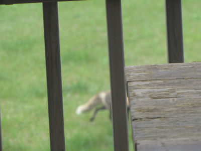fox tail as it runs away