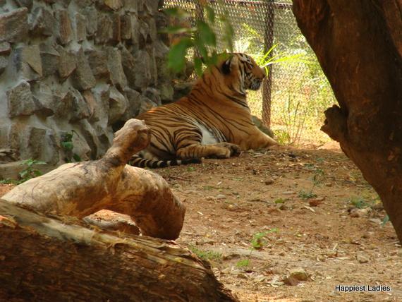 bengal tiger mysore zoo