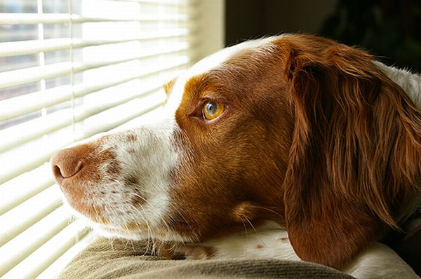 American Brittany Spaniel Dog Wallpaper Download