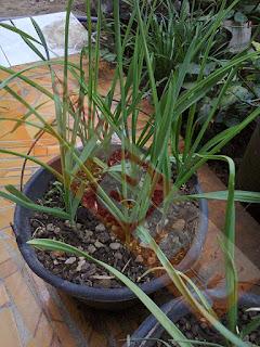 Menanam Bawang Putih Di Ember -- Planting Garlic in a Bucket