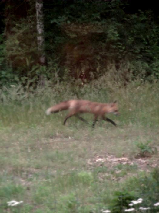 The mama fox