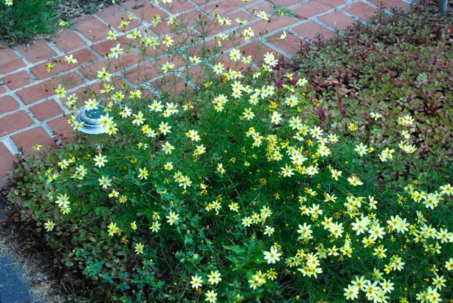 Sunny plant combination: Coreopsis 'Moonbeam' and Sedum 'Red Carpet'