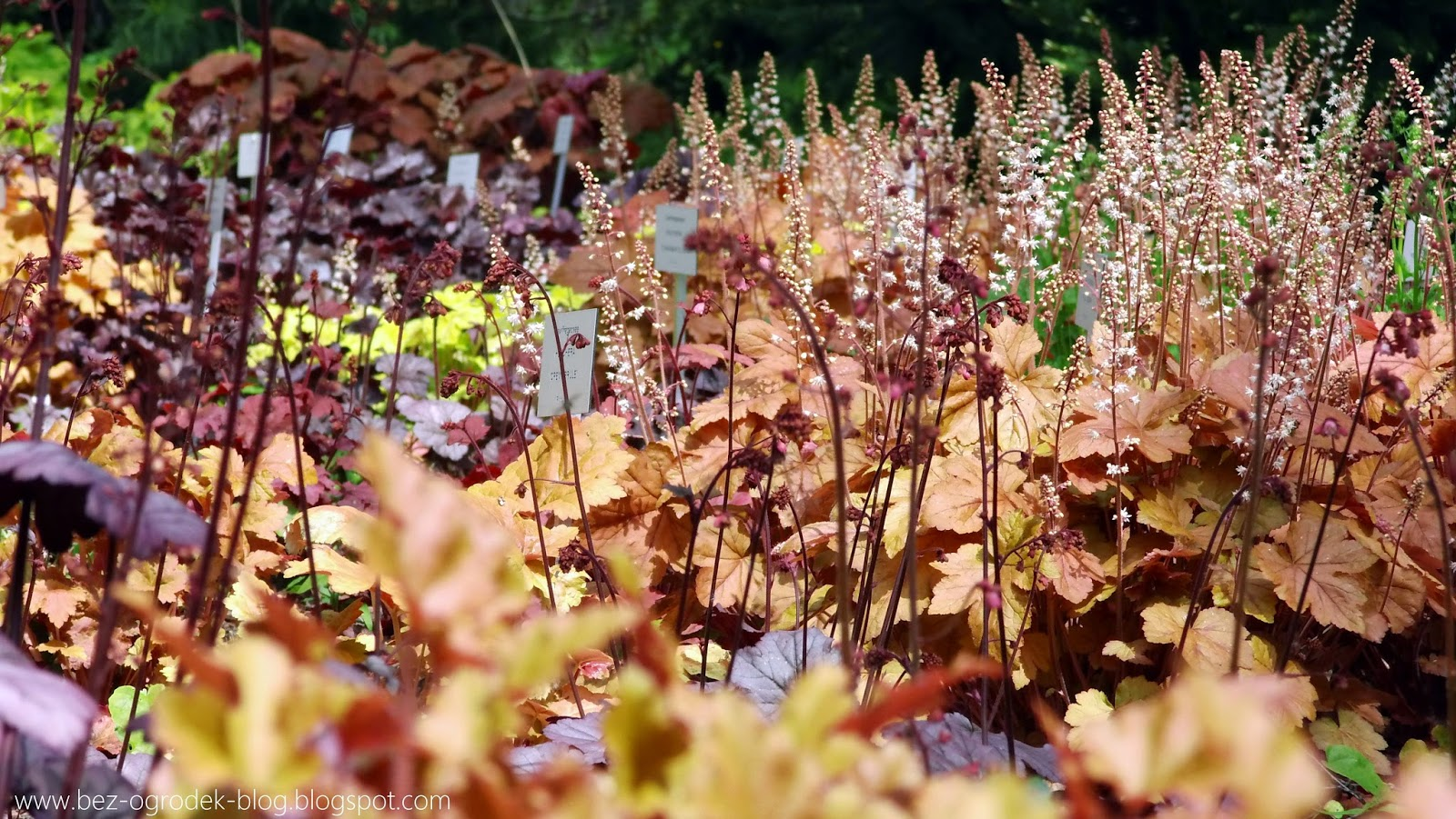 heuchera plants in the color of the year