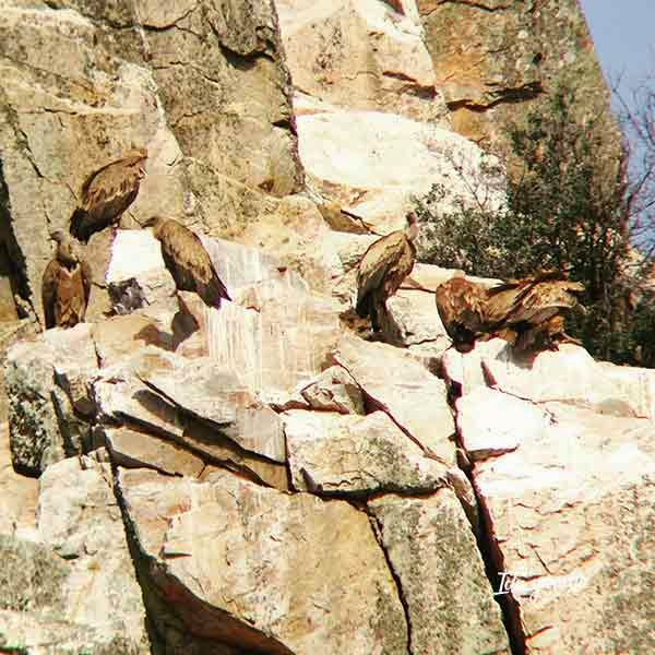Buitres leonados en Monfragüe