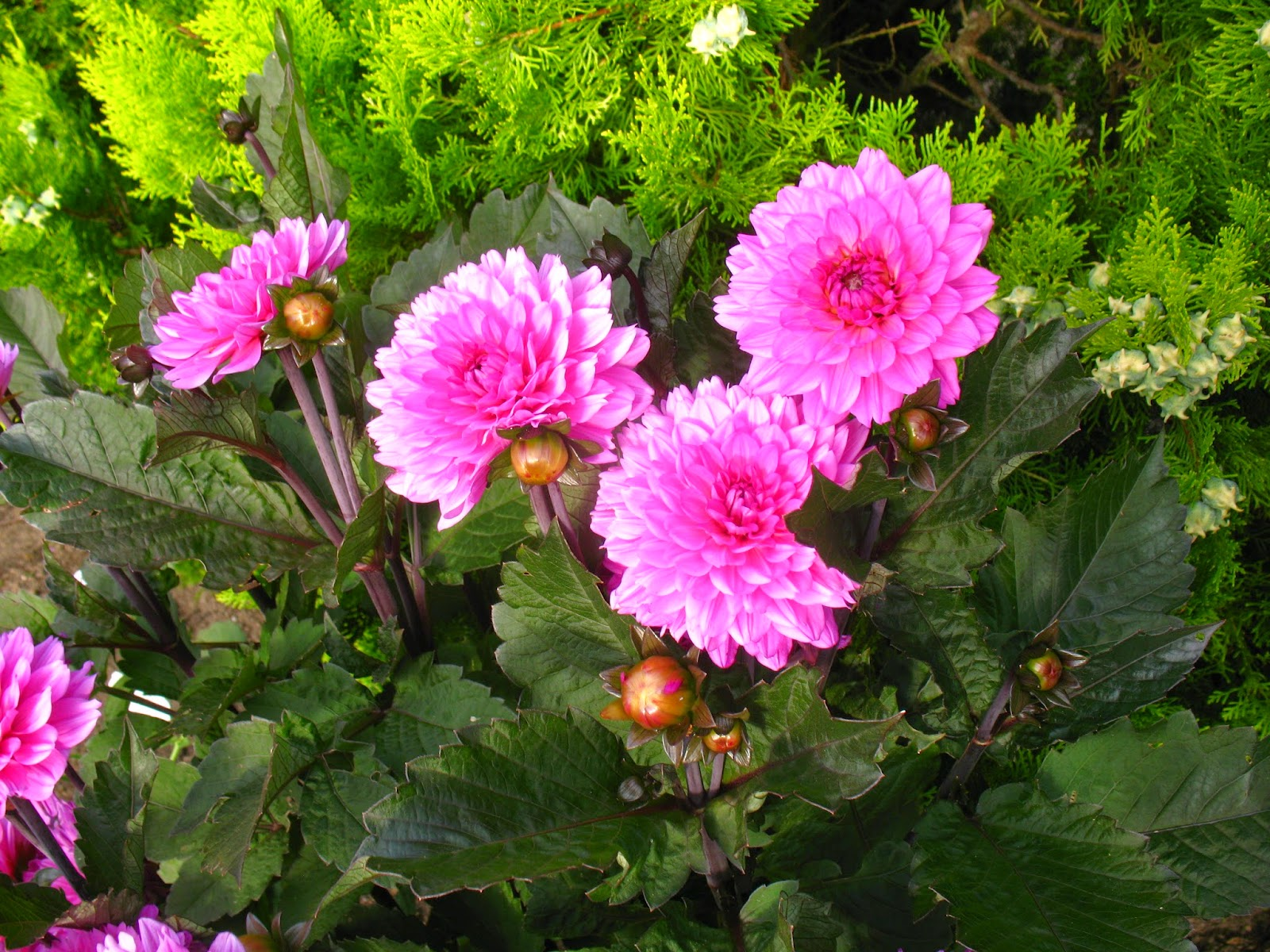 Fleurs commencant par g - Fleur commencant par t ...