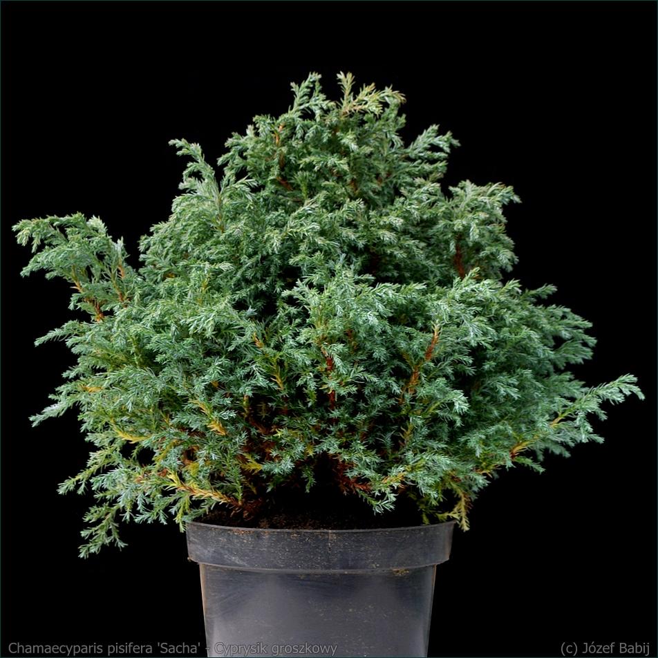 Chamaecyparis pisifera 'Sacha' - Cyprysik groszkowy 'Sacha' pokrój