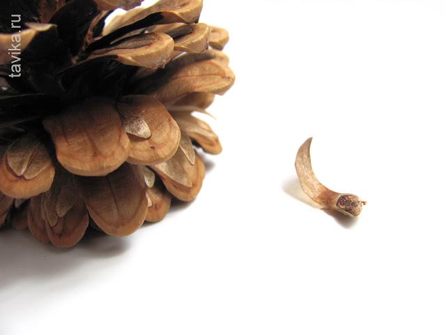 семена шишки