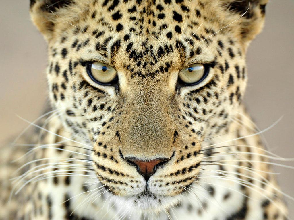 Fabuloso Gestão Legal: O olhar da Onça VG39