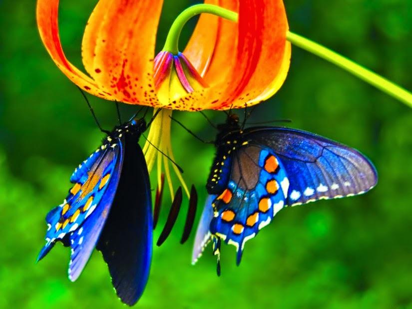 papillon-roi-rare
