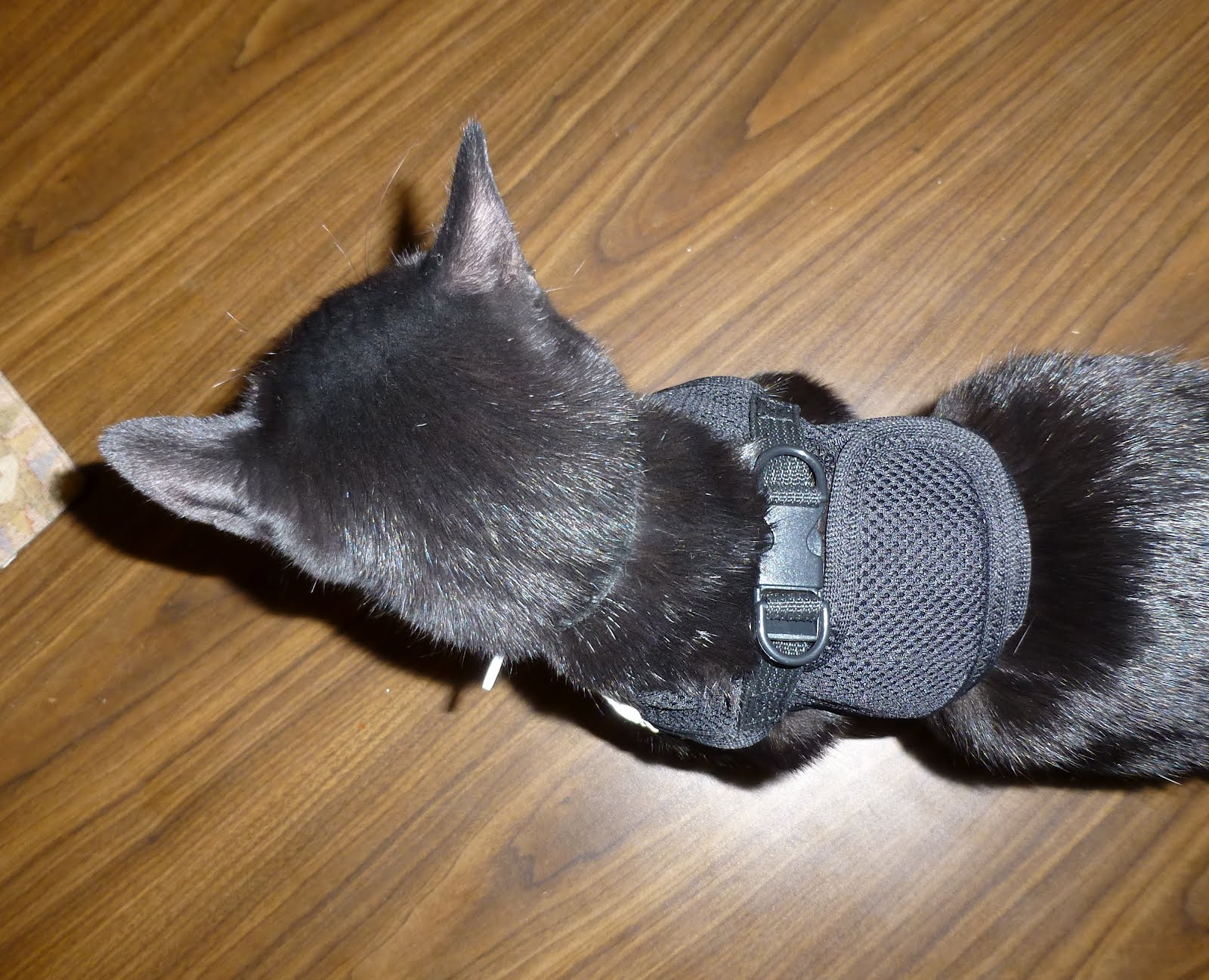 how to get a harness on a cat