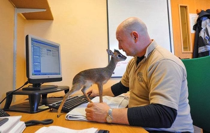 Baby antelope at Chester Zoo Time cuddles his adoptive daughter.