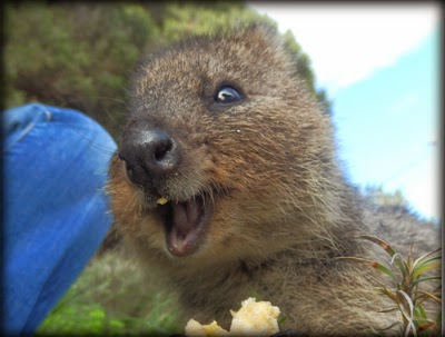 DollsArtCats: More ridiculously cute quokka