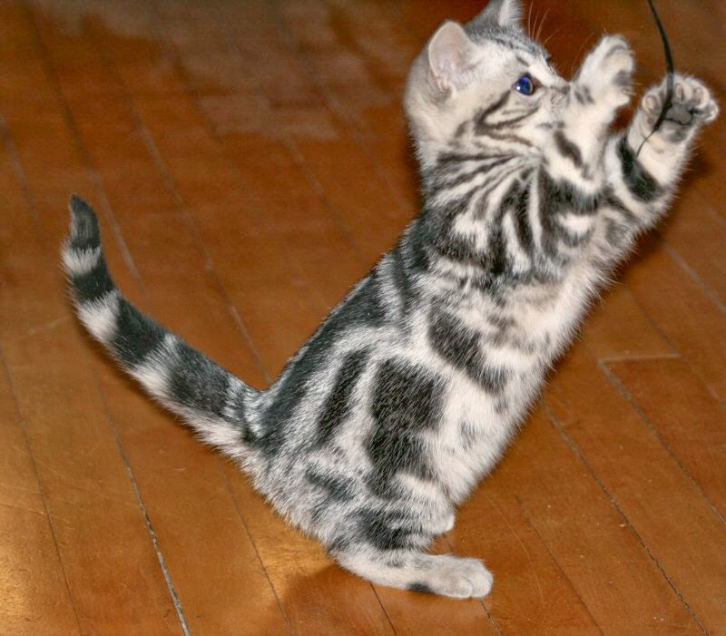Kucing American Shorthair Pets Lover Indonesia