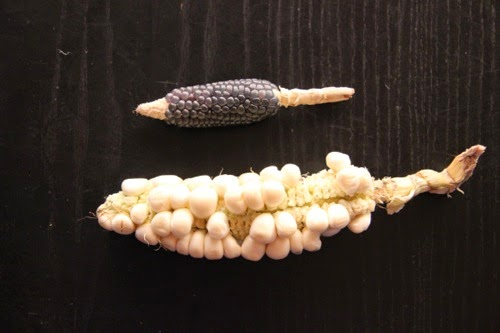 Giant Inca white corn next to mini blue popcorn