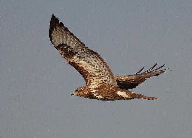 miñato comun voando nunha ruta para ver aves