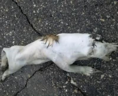 chupacabras blanco muerto en estados unidos 2011