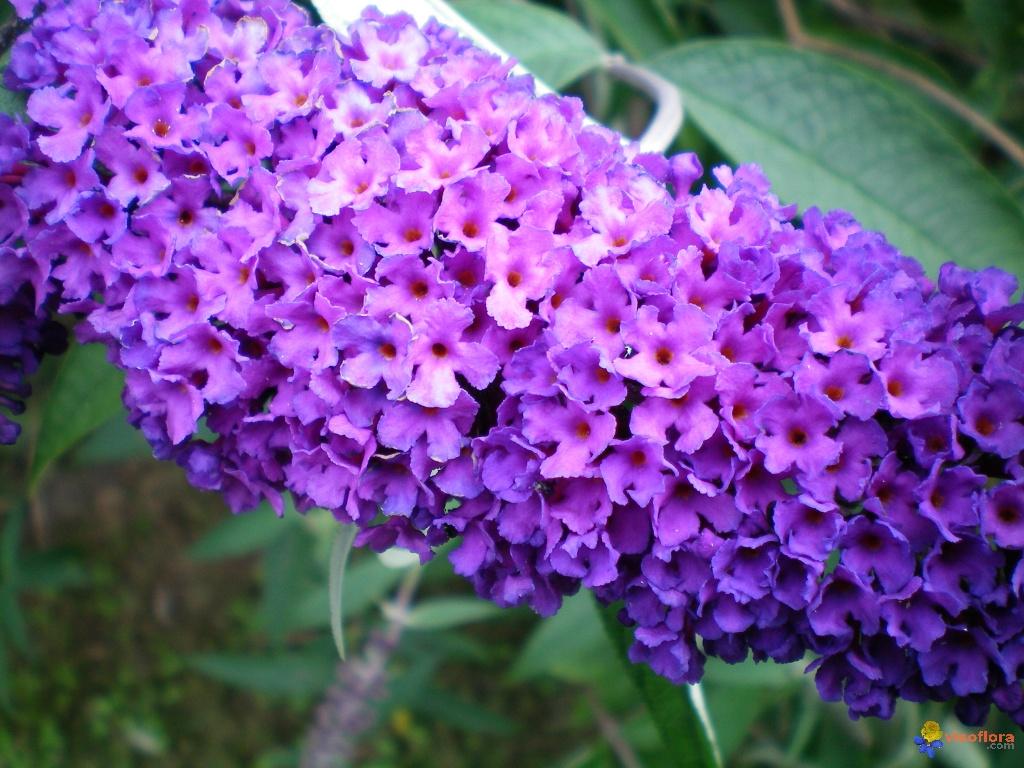 Imágenes de flores y plantas: Buddleia