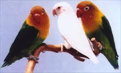 kawin silang love bird