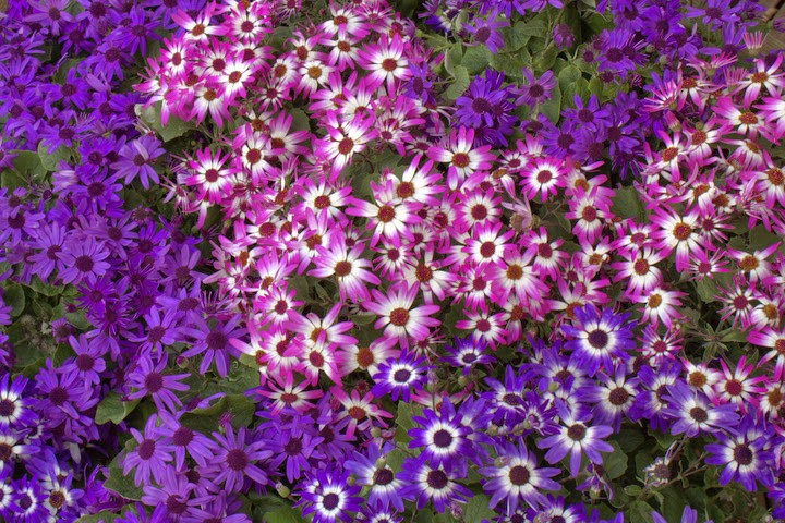 Senetti 'Violet Bi-color'