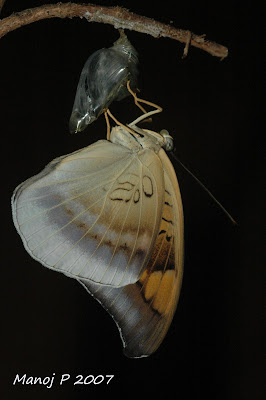 Gery Count Butterfly Emerging From Pupa