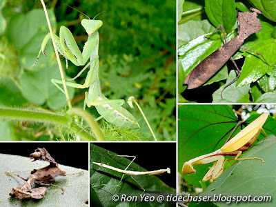 Mantises (Order Mantodea)