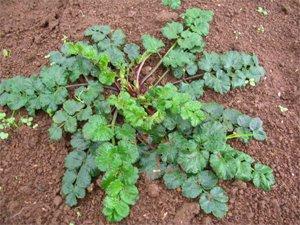 manfaat dan khasiat tanaman purwoceng sebagai membantu peredaran
