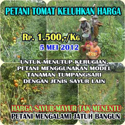 Informasi Harga Tomat