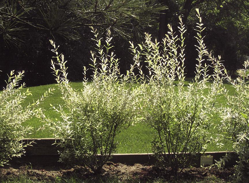 No rocíe con spray el árbol dañado por venados: Preguntas y respuestas sobre jardinería con George Weigel | PennLive.com