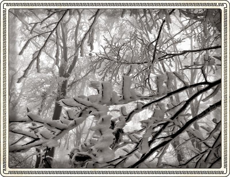 copaci cu zapada muntele cozla
