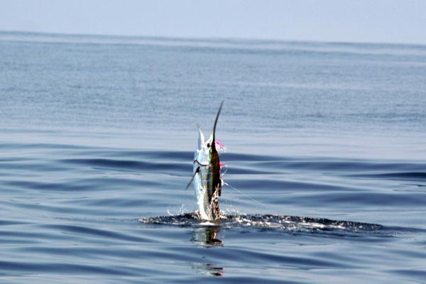 International fishing news ecuador galapagos marlin report for Fishing in ecuador