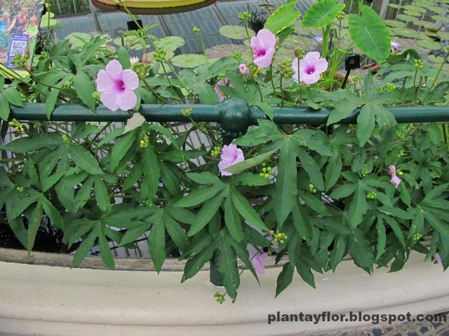 Plantas y flores plantas trepadoras for Fachadas con plantas trepadoras