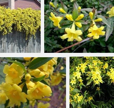 yellow jessamine dangerous herbs