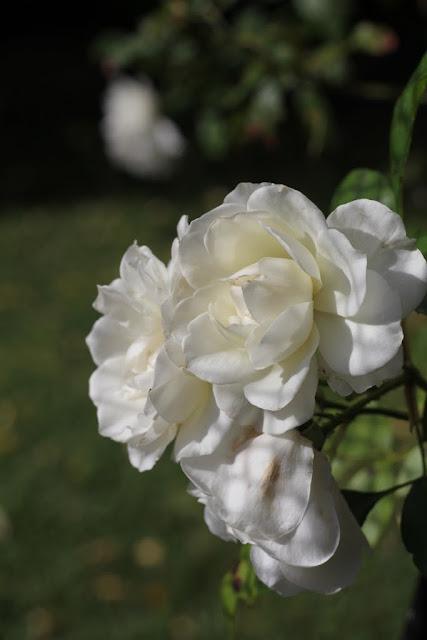 iceberg roses lilyfieldlife