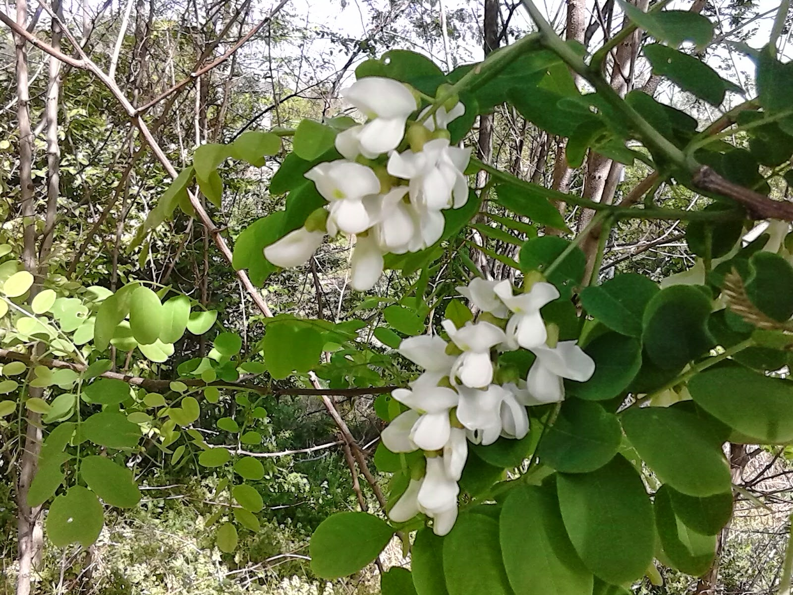 Southern Forager Black Locust Trees are Blooming Time for Fritters