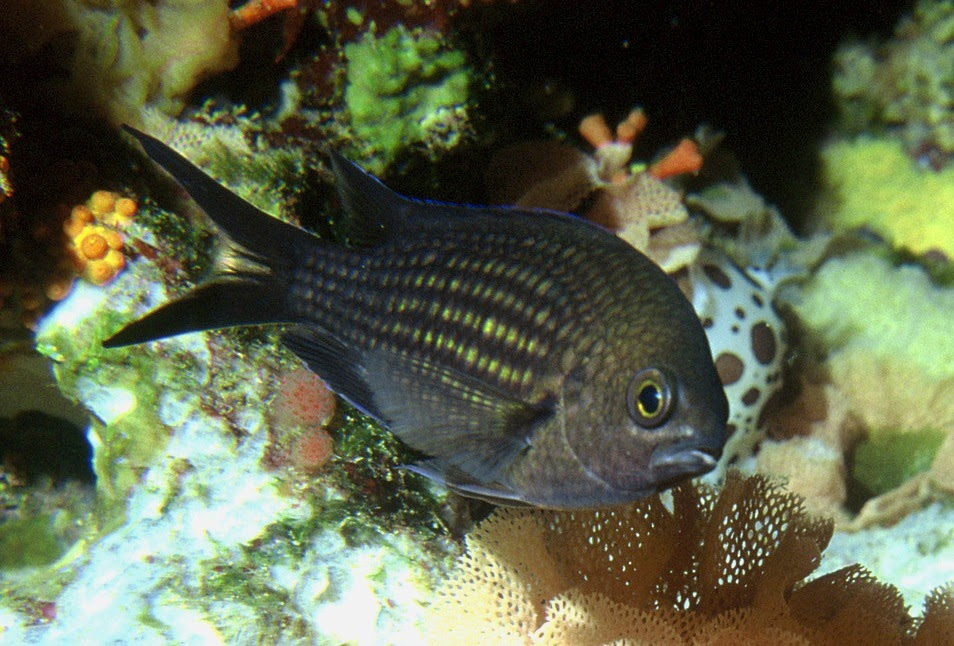 Akvaryum papaz balığı hakkında bilgi