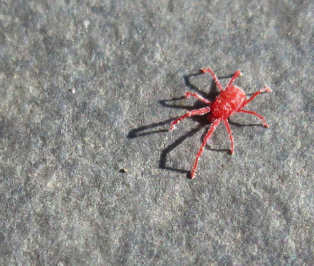Mite, Balaustium species, on a doorstep at Porthclais, near St David's (Tyddewi), Pembrokeshire.  9 July 2011.